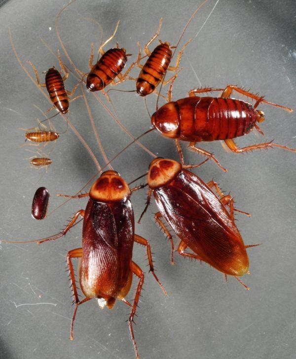 acido-borico-contra-las-cucarachas-bichos