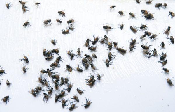 Trampas caseras mosquitos y moscas muerta