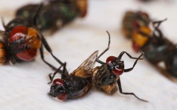 Trampas caseras mosquitos y moscas muertas